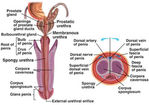 Superficial dorsal vein of the penis #7