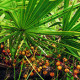 Saw Palmetto Fruit Extract Ingredient Definition